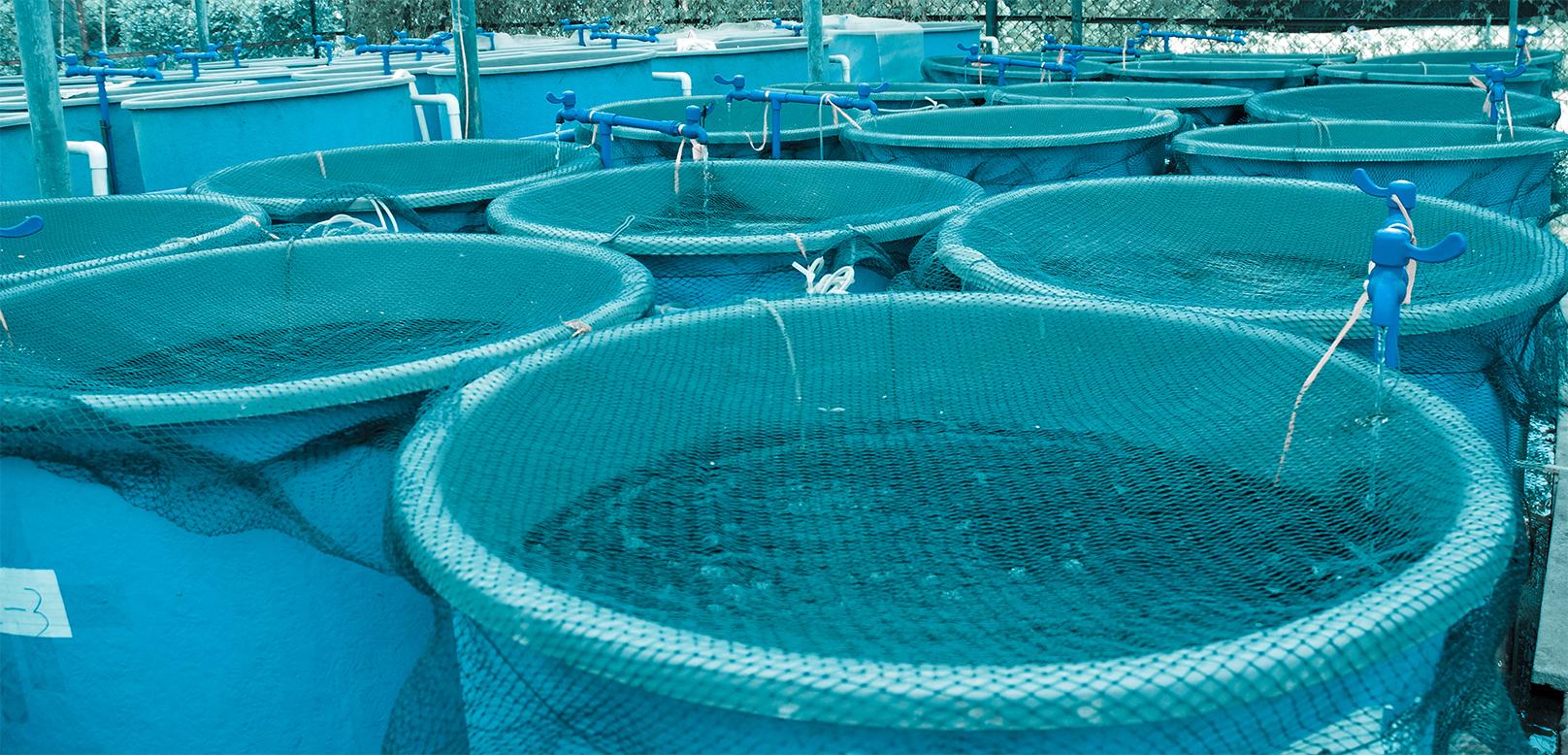 Pesce di allevamento for Vasche per allevamento ittico