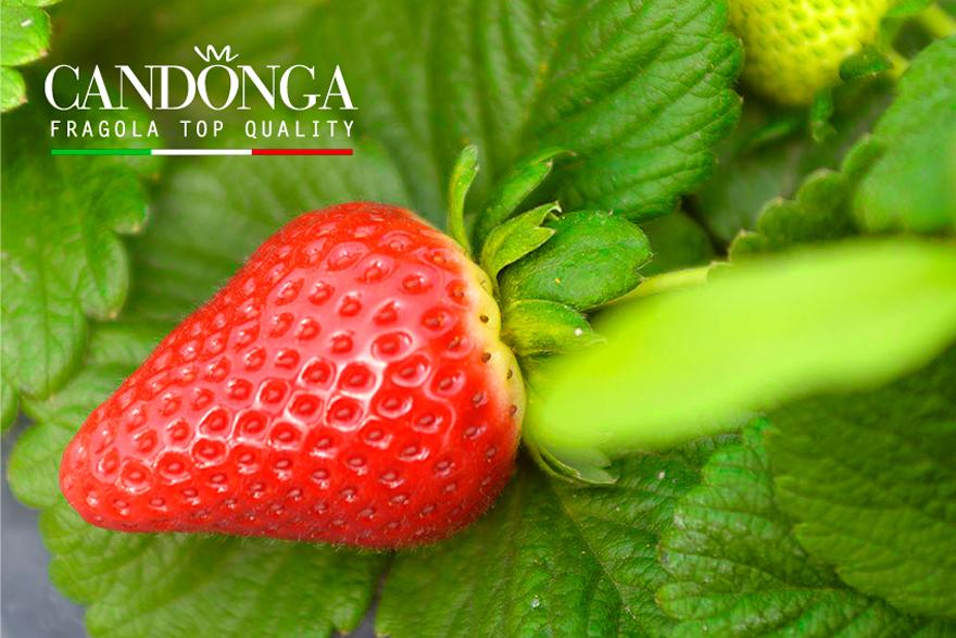 b3607cd43bde Fragola del metapontino Torna su   Produzione La Candonga Fragola Top  Quality® ha una forma ...